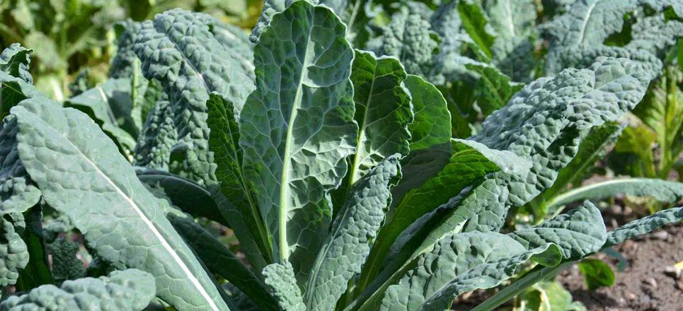 Kales (Lacinato y Duende)